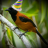 Hooded Pitohui
